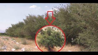 Takut Akan Hadits Rasulullah, Yahudi Tanam Pohon GHORQOD, MENGAPA?