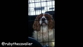 Cavalier King Charles Spaniels Mad Hair!!
