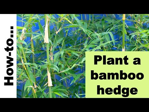 How To Plant A Bamboo Hedge Or Screen Youtube