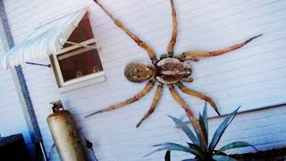 Top 10 Most Venomous Spiders Giant Spider! World's Biggest Spider World's Largest Spider