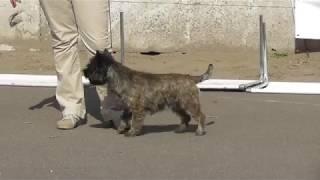 породы собак, Керн-терьер, видео с выставки собак