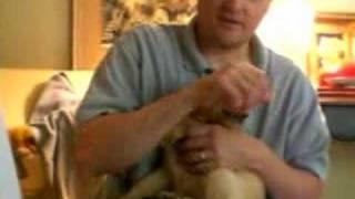 Shawn's New Golden Retriever Puppy Dancing
