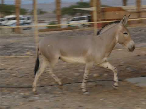 A running Somali wild ass