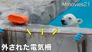 Electric fence  removed,Polar Bears 外された電気柵 ホッキョクグマ舎