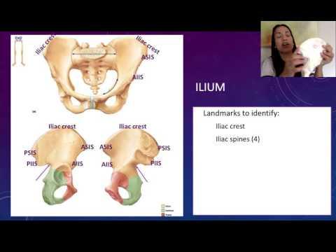 3. Coxal Bones: The Ilium