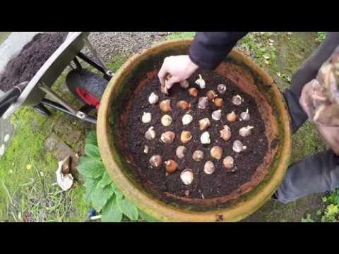 planting tulip bulbs in pots