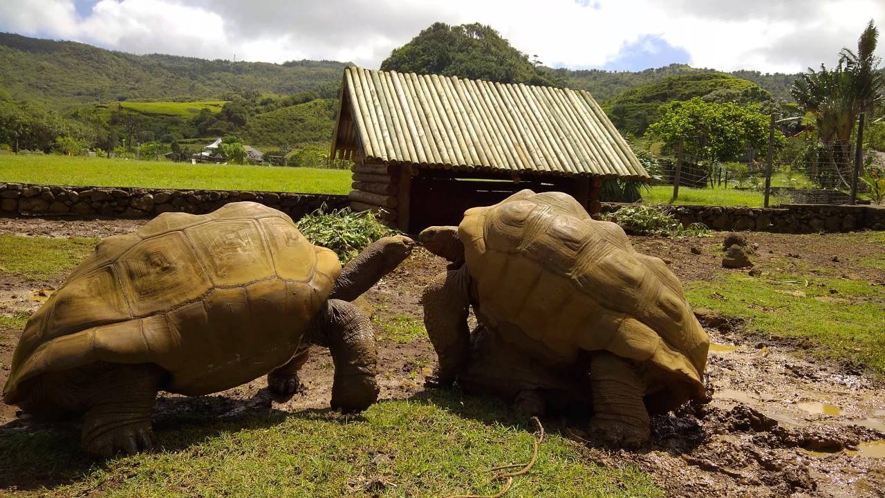 Schildkröten Sexkampf auf Mauritius - YouTube