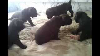 French Boodles (french Bulldog X Standard Poodle)