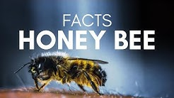 Top 10 Facts About Honey Bees You didn't Know - Facts Of Animal