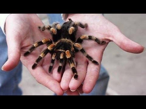 Содержание экзотических пауков в домашних условиях. GuberniaTV