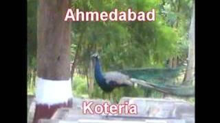 Peacock at Mazar Syedna Qutubuddin Shaheed Ahmedabad