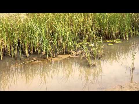 West African crocodile (Crocodylus suchus), Mauritania