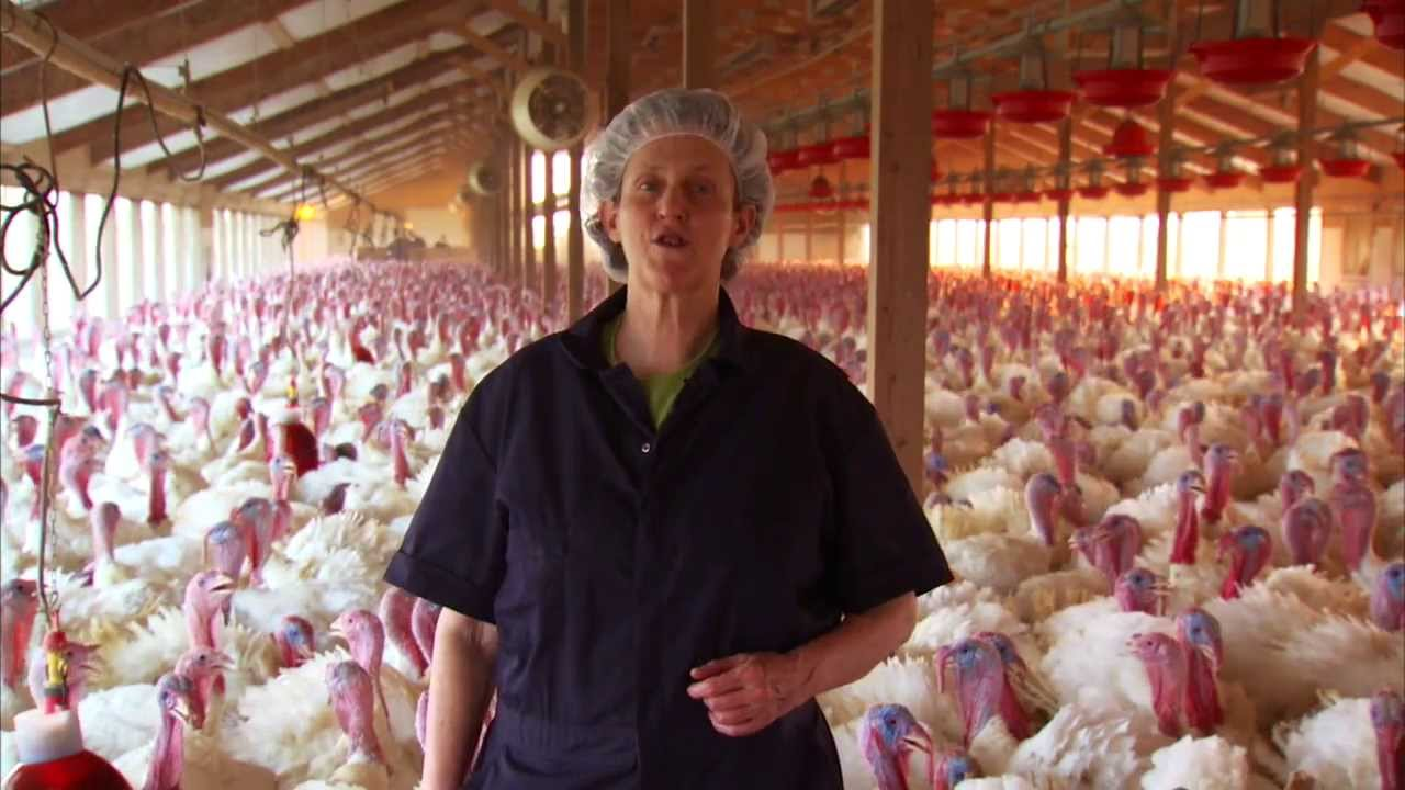 Turkey Farm Amp Processing Plant Tour Temple Grandin Youtube