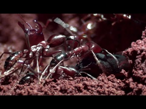 The Queen's Arrival | Natural World: Ant Attack | BBC Earth