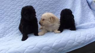 子犬が生まれていますよ http://www.woof.jp/puli.html 2015年4月20日に...