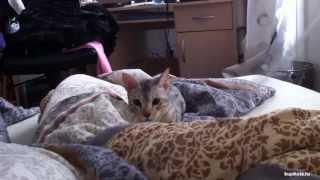 Серенгети порода кошек