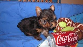 Xxs Yorkshire Terrier / Yorkie Puppies 2month Old