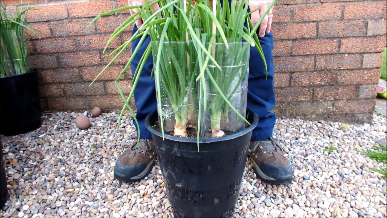 Hgv How To Grow Green Onions Shallots In Buckets Or Pots Start To Finish Youtube