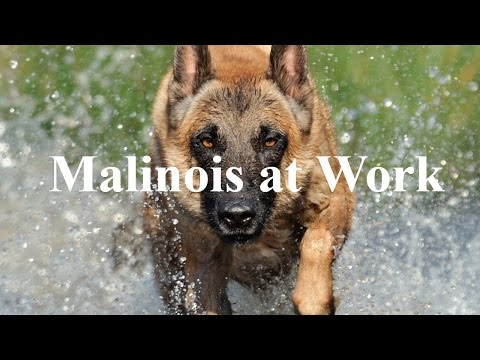 Malinois at Work |  belgian malinois