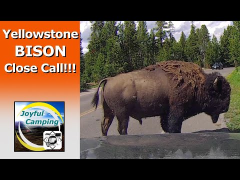 Yellowstone BISON CLOSE CALL!!!! --- Joyful Camping