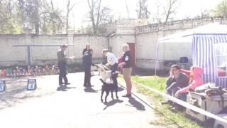 3 мая 2016. Орел. Выставка собак. Лабрадоры, класс Юниоров - кобели.