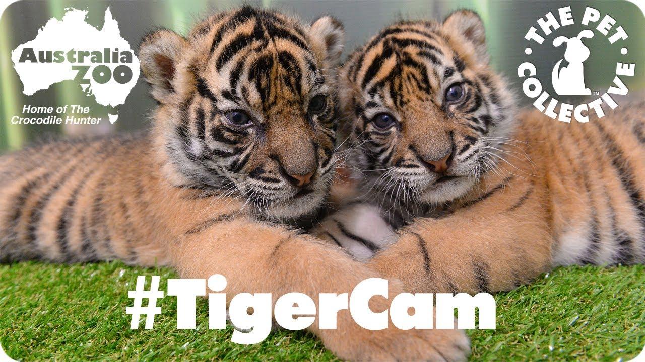 The eye of tiger live webcam