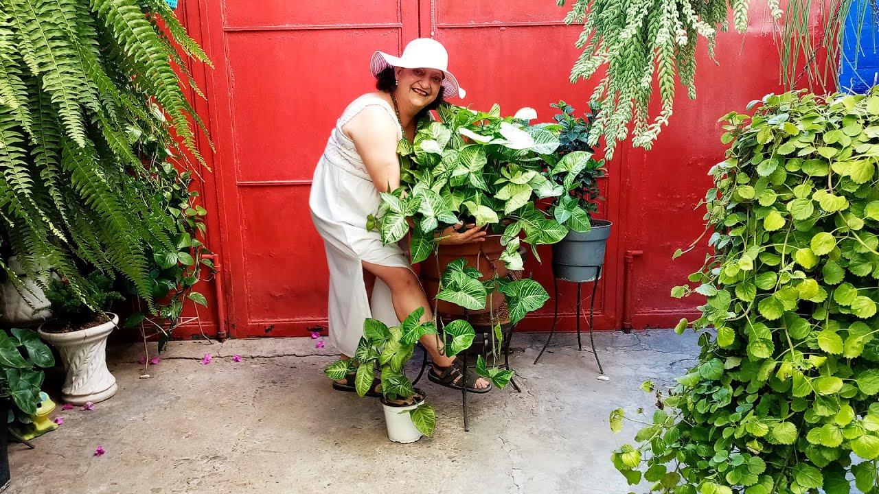 Syngonium o Singonio Planta Bellísima en Mi Jardincito