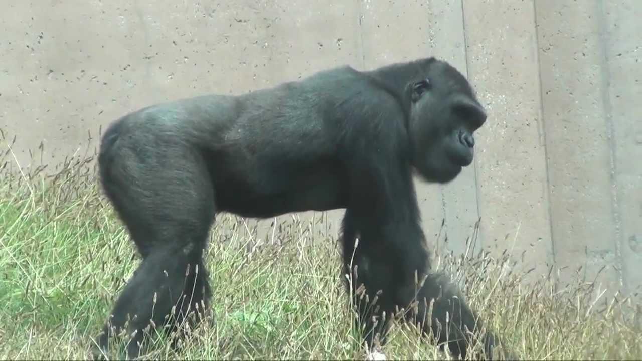 western lowland gorillas youtube