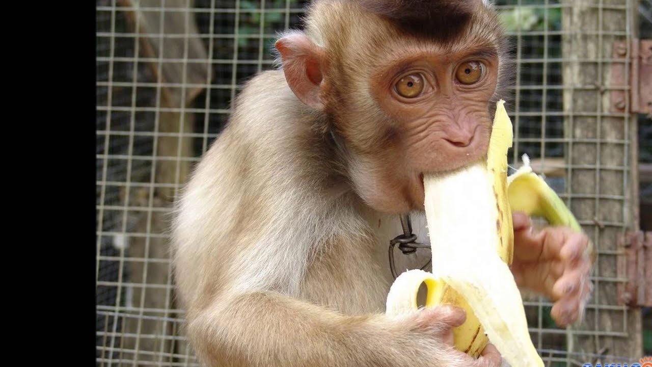 Днем защитника, картинки обезьяна с бананом