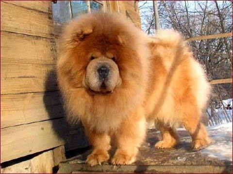 Чау-чау сторожевая собака