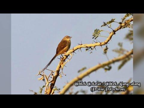 Download Lagu Suara Burung Ciblek Alang-Alang / Cokelat /Prinia polychroa [Audio Masteran Burung]