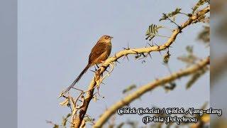 Suara Burung Ciblek Alang-Alang / Cokelat /Prinia polychroa [Audio Masteran Burung]