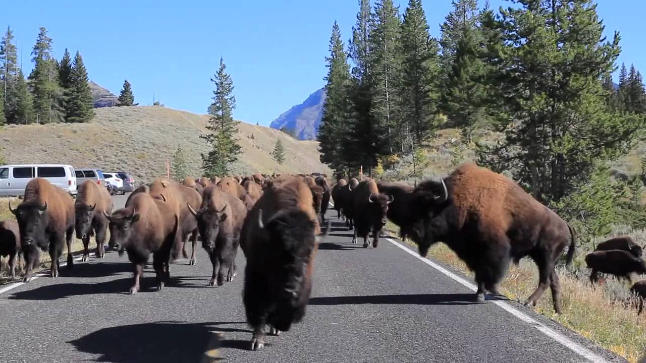 singles in yellowstone national park Find the best yellowstone national park sightseeing tours, travel guides and maps multi-day guided bus tours covering popular us national parks including yellowstone.