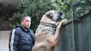اخراج-كلب-الكانجال-العملاق-من-قفصه-مع-جمال-العمواسي
