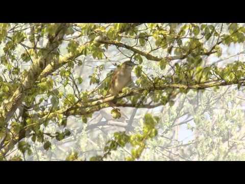 Nightingale singing from a tree (Luscinia megarhynchos)