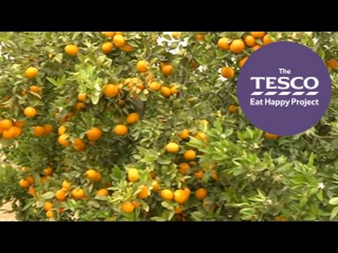 Where do clementines come from? Join us from a citrus grove