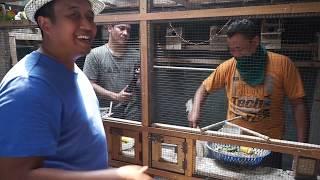 TERNAK KOLONI LOVEBIRD PAK MA'RUF | HOBI ATM OTOMATIS