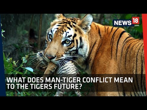 News18 Explains | Why Avni's Death Raises Questions On Tigers Future In India?