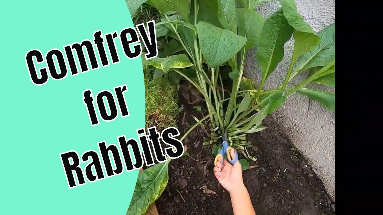 Comfrey and rabbits