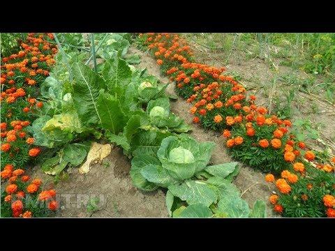Бархатцы Тегатес Красивое и Полезное растение