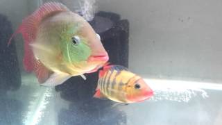 True red terror cichlid