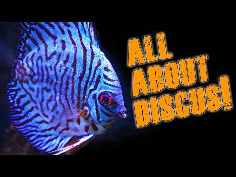 Discus Fish - The Basics.