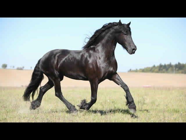 خيول عربية اصيلة للبيع فى السعودية 2021 اسعار بيع الخيول خيل عربي سيسي للبيع Youtube