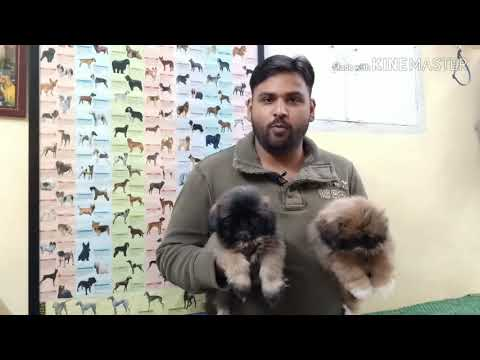 Low Price Lhasa Apso Puppy Available In Delhi And India
