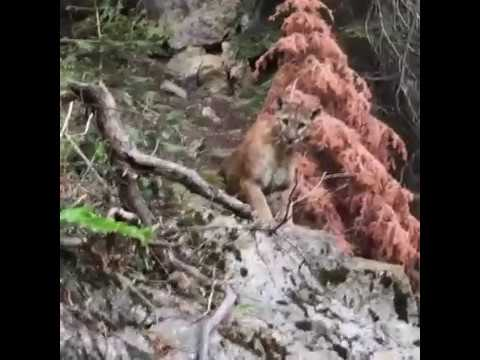 Huge Mountain Lion Stalks Two Hikers Alone In The Woods...