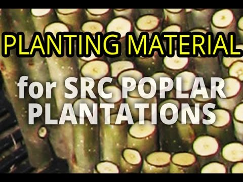 Poplar planting material (alternative to energetic willow crops and plantations) PRODUCER