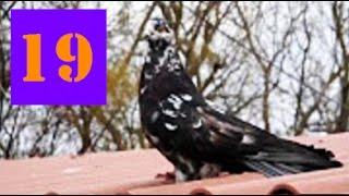 Голуби Крыма, Алексей Василишин, Евпатория (19)(, 2016-11-28T18:30:05.000Z)
