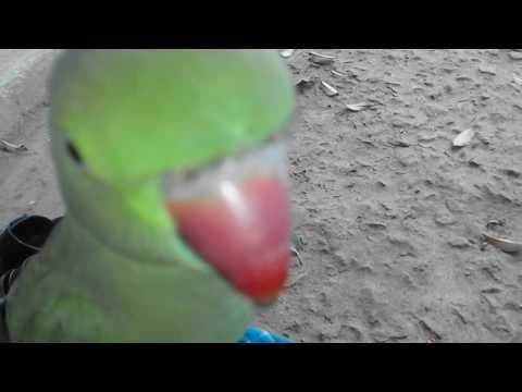 Parrot konganapuram