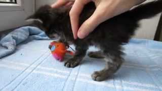 черный тикированный мейн кун котенок