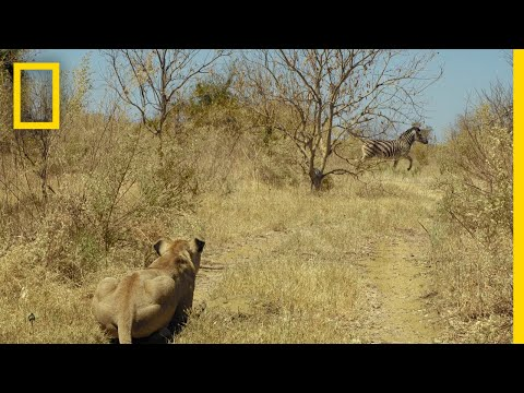 Lions Hunt Zebra | Savage Kingdom